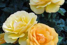 Rosas Grandiflora.