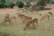 Kenya / Minden, ami Kenya :)  Everything about Kenya :)