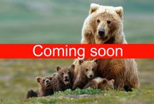 Bear Safari / Cooming Soon
