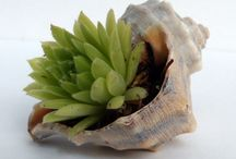 Суккуленты  -  Succulents