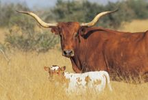 Cattle  / by Janet Fleming