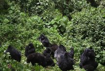 Bwindi National park / Bwindi Impenetrable Forest is an impressive national park located in western Uganda at the border of Rwanda and D.R.C. it is composed of an old and large stretch of green rainforest which extends over 330 squares