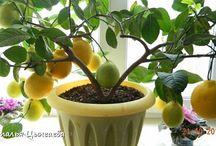 Выращивание.цитрусовых&ДОМ