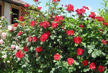 ROSE / Maggio mese delle rose