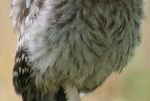 Ugler - Owl / ugler