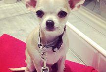 My sweetheart Andy❤️ / #puppy #chiuaua #mylove