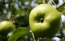 Bramley Apple / Vote for the original Bramley Apple Tree in the Woodland Trust Tree of the Year competition:  http://www.woodlandtrust.org.uk/visiting-woods/tree-of-the-year/england/