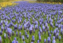 Landscaper Specials (great deals for mass plantings)