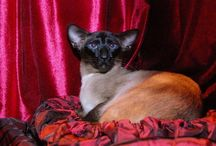 Siamese and Oriental photos from the GCCF Supreme Cat Show 2015