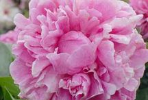 Peony Rose / by Julianne Bingham