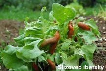 Škodcovia - slimáky v zahrade