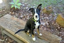 Oliver de Waggly Wascal, my adopted fur kid, and a few of his favourite things. (captions written from Oliver's point of view) / oliverishappy.wordpress.com  -  Hi, I'm Oliver, a Border Collie x Kelpie adopted at 10 weeks on 1 July 2016 from SEQ K9 RESCUE via www.PetRescue.com.au