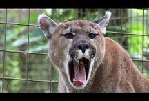 Kotki te dzikie głosy