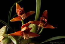 Orquídeas / Fotos de orquídeas cultivadas em apartamento, publicadas no blog Orquídeas no Apê.