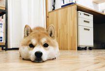 dog / lovly shiba dog land♡