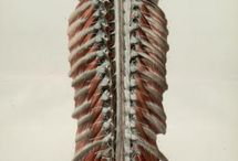 Anatomy & Orthopaedic