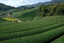 Tea Farms in Japan / Several Tea Farms across Japan