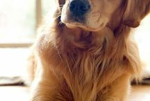 Golden Retrive