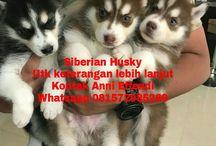 Von Javelline Kennel jual anjing Siberian Husky Long Hair Blue Eyes