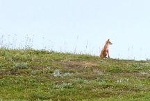 Fox / Fox
