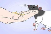 Pet Rats <3