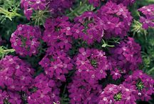 Vivacious Verbena / Temari® Patio Verbena is a trade mark given to a range of broad leaved Verbena, which are centrally branched, strong growers and they quickly form tall mounds of color. Blooms are large and are produced through out the growing season. Temari® is resistant to powdery mildew