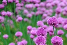Gyógynövények, fűszernövények / Gyógynövények, fűszernövények