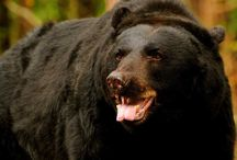 Bear Sanctuaries in India / Sanctuariesindia: Here you can get information about all Sloth Bear Sanctuaries in India.