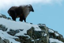 New Zealand Hunting and Safaris / New Zealand Hunting guides Specialising in free range private land Hunting Red Stag, Tahr, Chamois, Fallow Buck with our own estate to give you the best hunting New Zealand has to offer.