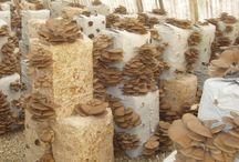 cultivo hongos