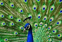 Peacocks / The Beauty & majesty of the creatures colors leave me in awe.  / by Gabby Vazquez