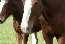 Welshs Clydesdales / Clydesdale Horses