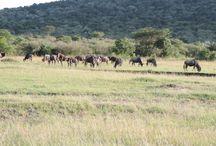 YHA Kenya Travel Wildebeest Migration Safaris. / Book and enjoy an all inclusive Kenya annual wildebeest migration safari package, to world tourist wonder Masai Mara wildebeest migration in Masai Mara Kenya.http://www.yhakenyatraveltoursandsafaris.com/pages/kenya-wildebeest-migration-safari.html