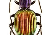Carabidae, Cicindelidae