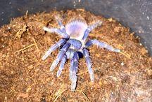 Tarantulas spiders / My pets