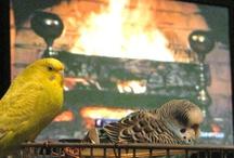 Parakeets / by Amanda Roper