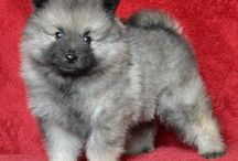 Keeshond puppies for sale / Our Keeshond puppies for sale. Kennel Šumbarský pramen (Czech Republic)