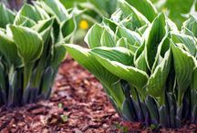 Shade Lovers / All about shade gardening and shade loving plants.