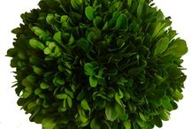 Preserved Boxwood Balls / Our Preserved Boxwood designs are a natural evergreen, treated to preserve the beauty of the plant which is best preserved by lightly misting once a month and should not be placed in direct sunlight…this will aid in keeping its bold color for a lifetime.