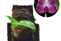 Phalaenopsis / Semua tanaman dalam board ini bisa dikirim keseluruh Indonesia, silahkan order ya, tel: 0341-599399 I SMS center: 08569020300 atau kunjungi website kami www.kebunbibit.id