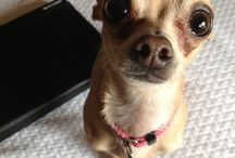 chihuahua mon amour