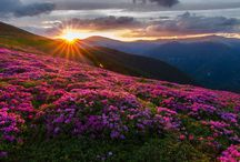 Carpathians in Bloom / At the beginning of summer the Rhododendron blooms in the Carpathian Mountains.