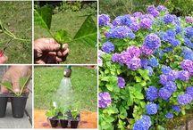 milca / pěstování