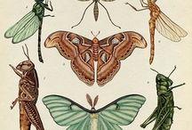 Entomological illustrations