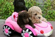 Poodles / Fun with poodles / by Karen Stephansky