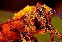 Bees Under Threat from Insecticides / Bees Under Threat from Insecticides