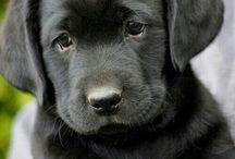 Labrador bilder
