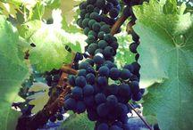Vines of the Bohemia Manor Farm