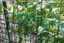 Potager : tomatillos