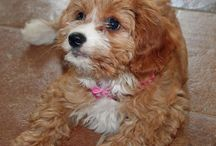 King Charles puppy wish for